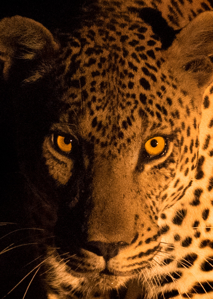 Leopard art gallery photo prints by Rob Shanahan