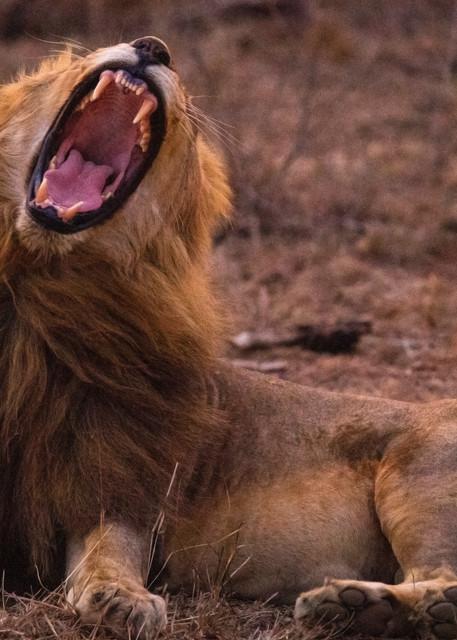 Lion roar art gallery photo prints by Rob Shanahan