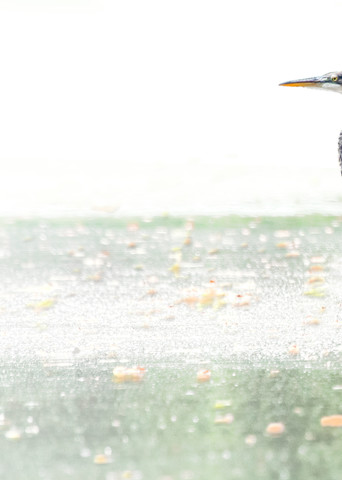 Heron Wading And Fishing High Key 9731 Art | Koral Martin Fine Art Photography