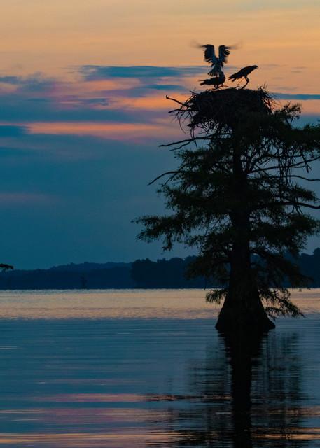 Osprey Nest Wings Sunrise V2  9125  Photography Art | Koral Martin Healthcare Art