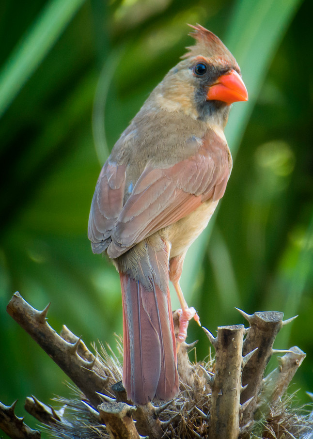 Female Northern Cardinal Standing on Torny Plant