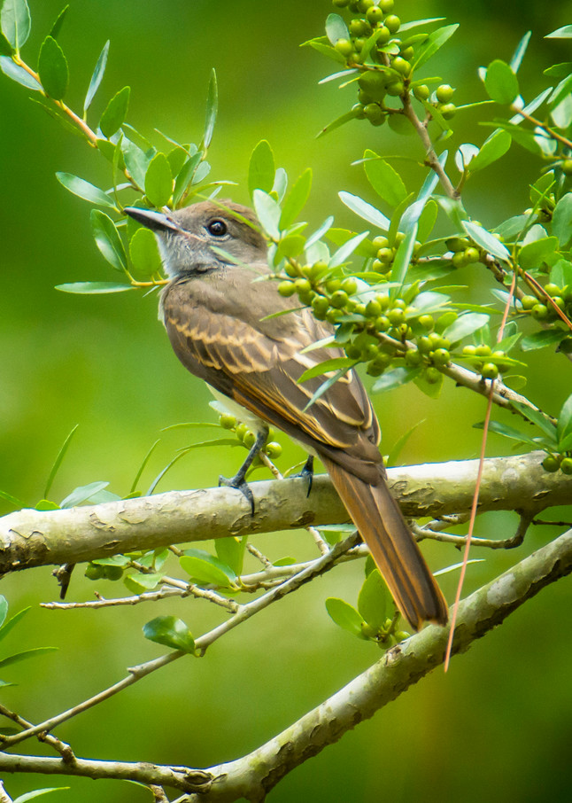 Great Crested Fly Catcher on Tree Branch