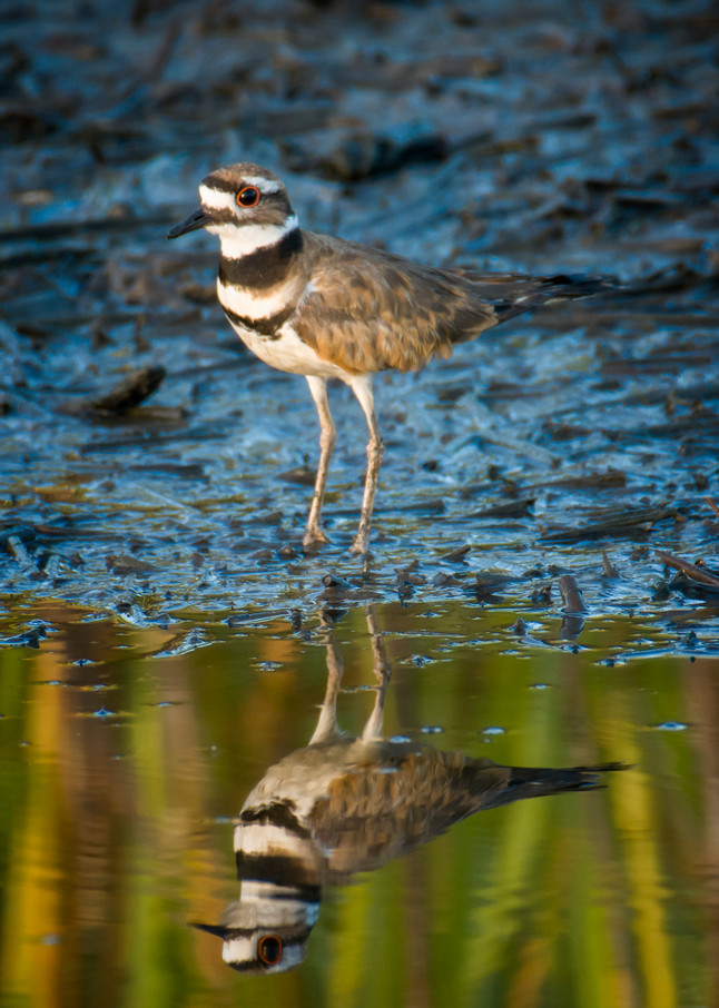 Killdeer in Early Morning Light With Reflection