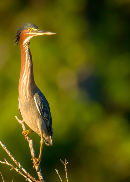 Green Heron in Early Morning Light on Fish Haul Beach