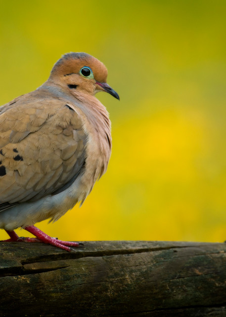 Mourning Dove on a Fence Rail