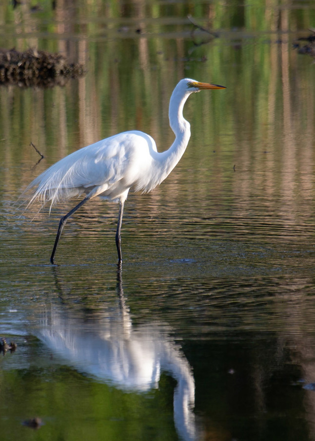Great Egret Walk Art | capeanngiclee