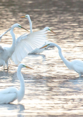 Egret Dance Party Pano Art | capeanngiclee