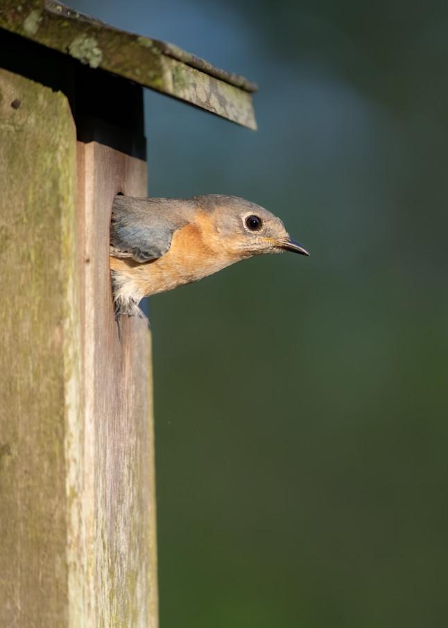 Bluebird at First Light