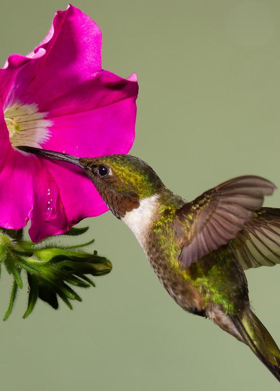 Ruby Throated Hummingbird Photography Art | Matt Cuda Nature Photography