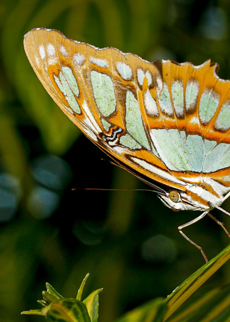 Butterfly, ontario, canada