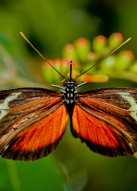 butterfly with wings spread