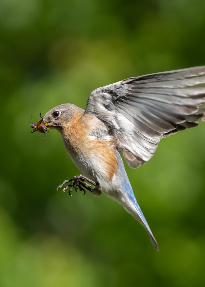 Eastern Bluebird with Insect