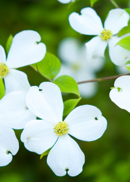 Dogwood Flowers in Spring