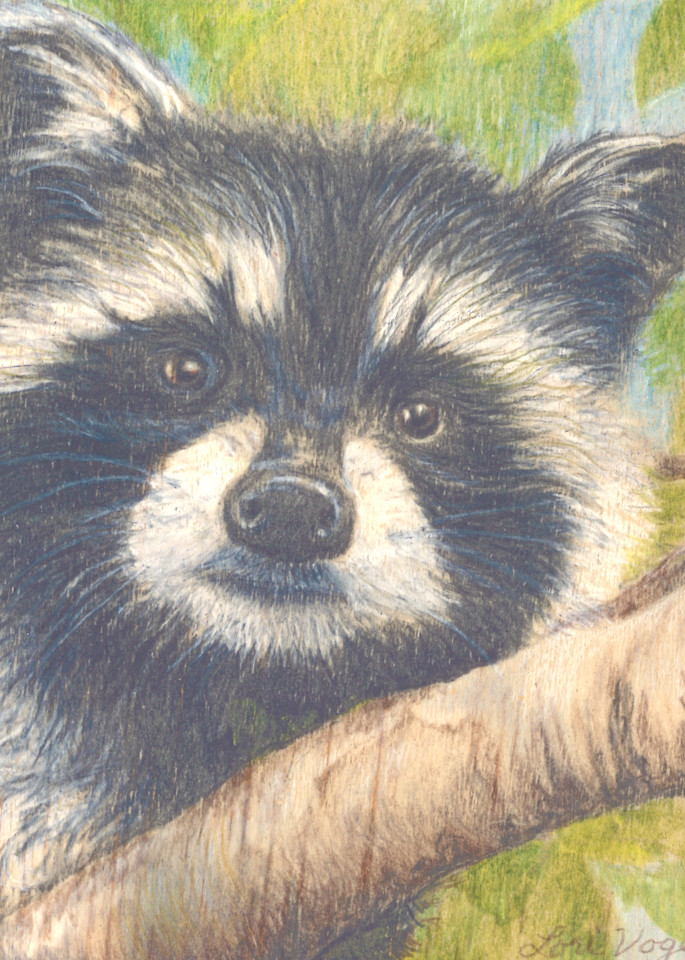 raccoon wildlife nature