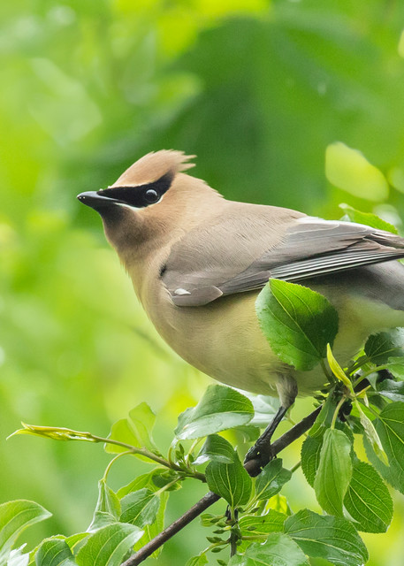 Cedar Waxwing 17 Photography Art | Deb Little Photography