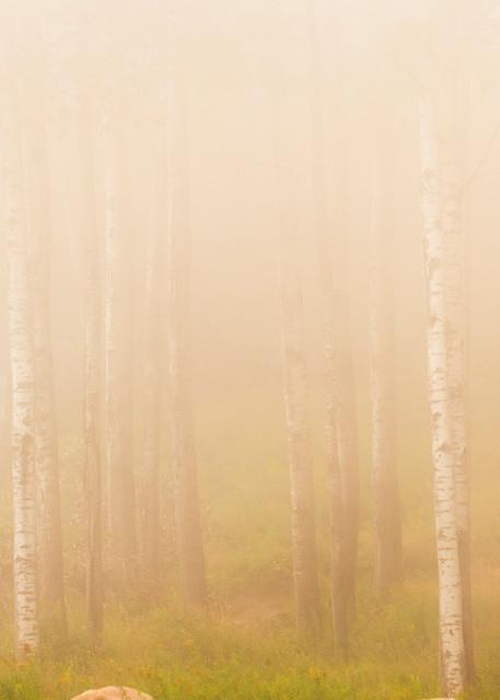 Birch Trees 1 Photography Art | Kurt Gardner Photogarphy Gallery