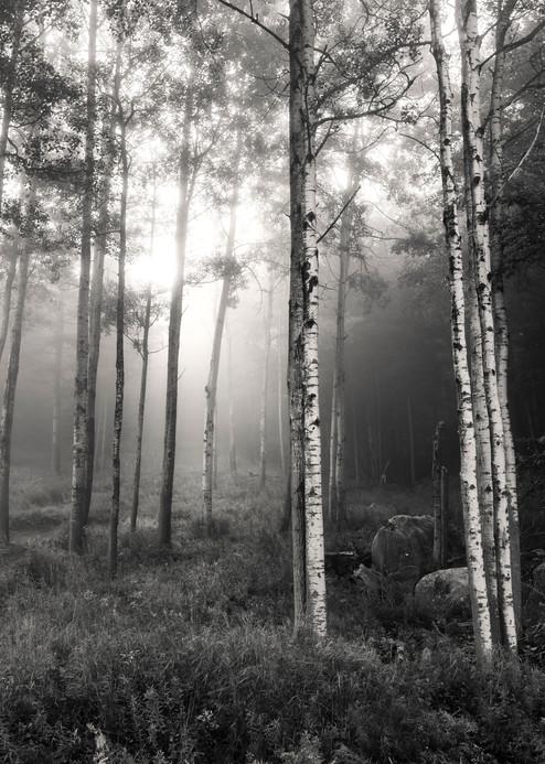 Birch Trees Bw Photography Art | Kurt Gardner Photogarphy Gallery