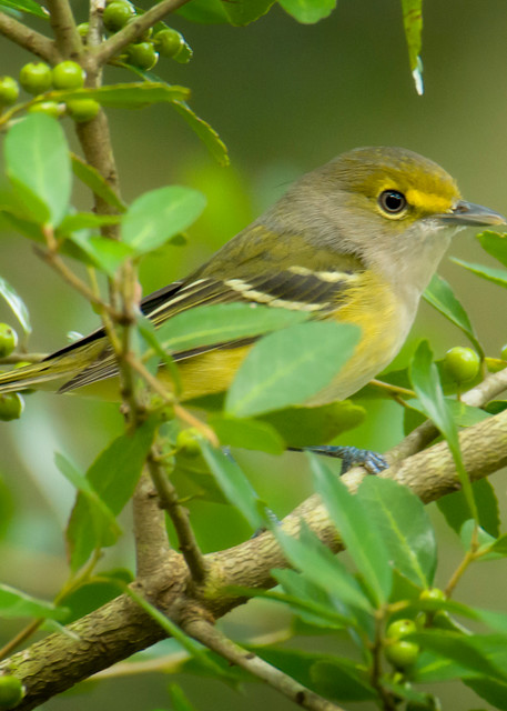White Eyed Vireo in a Bush