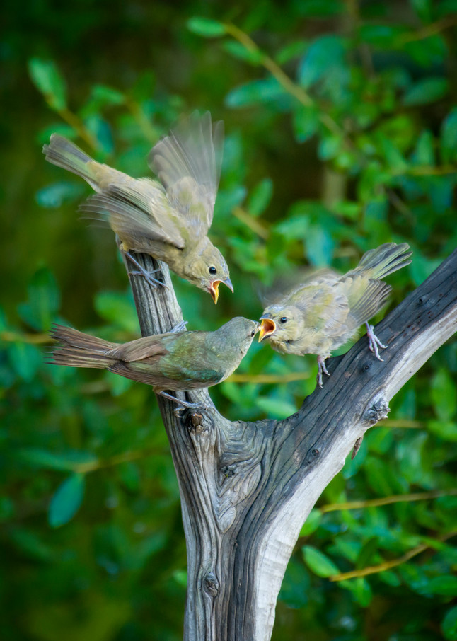 Female Painted Bunting Feeding Two Juveniles