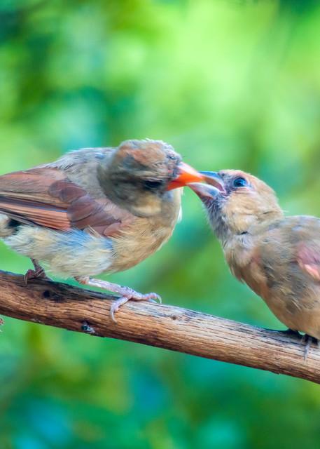 Female Northern Cardinal Feeding Juvenile