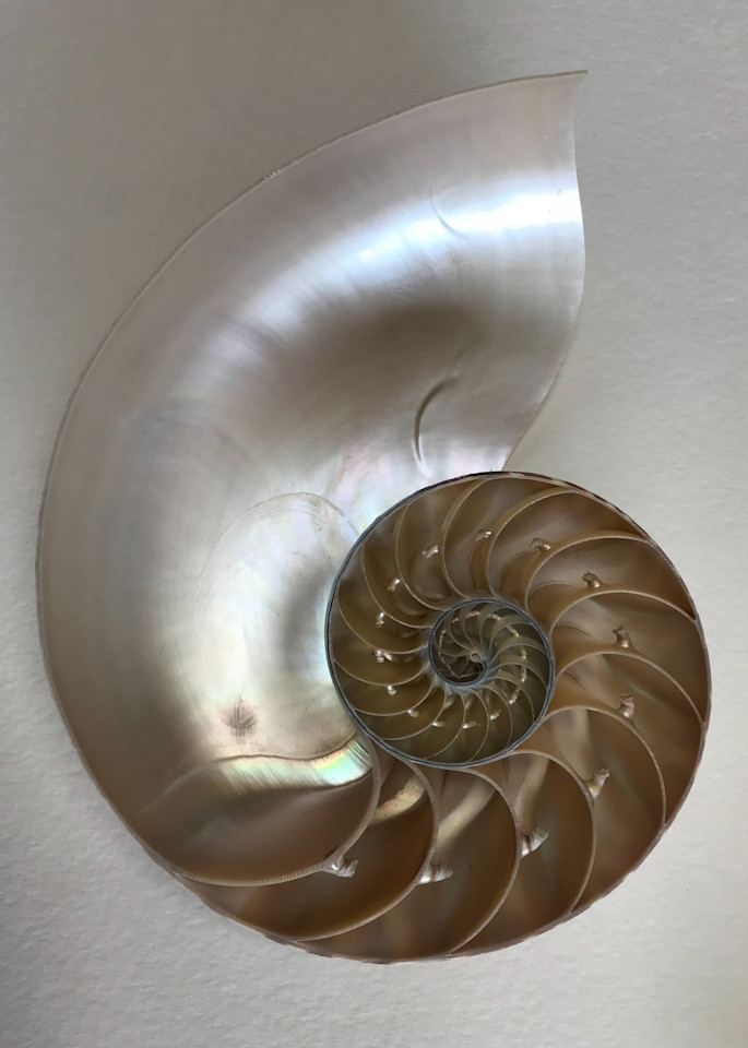 Chambered Nautilus  Art | Nosco Fine Art