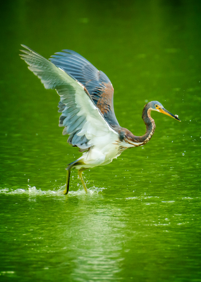 Tricolored Heron in Flight Over Pond