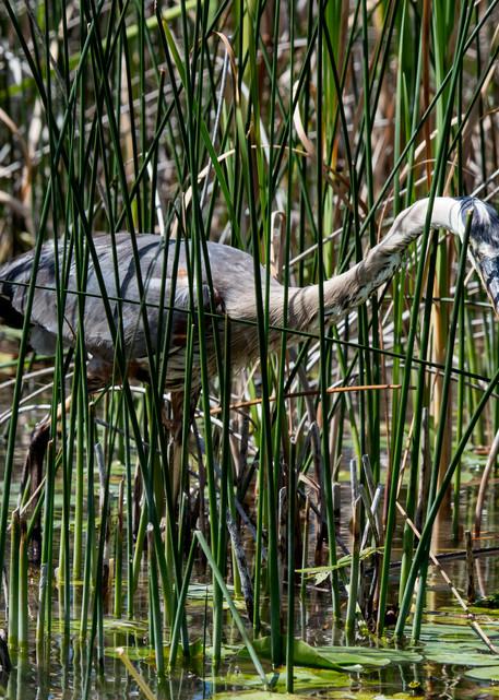 Heron Sight Fishing