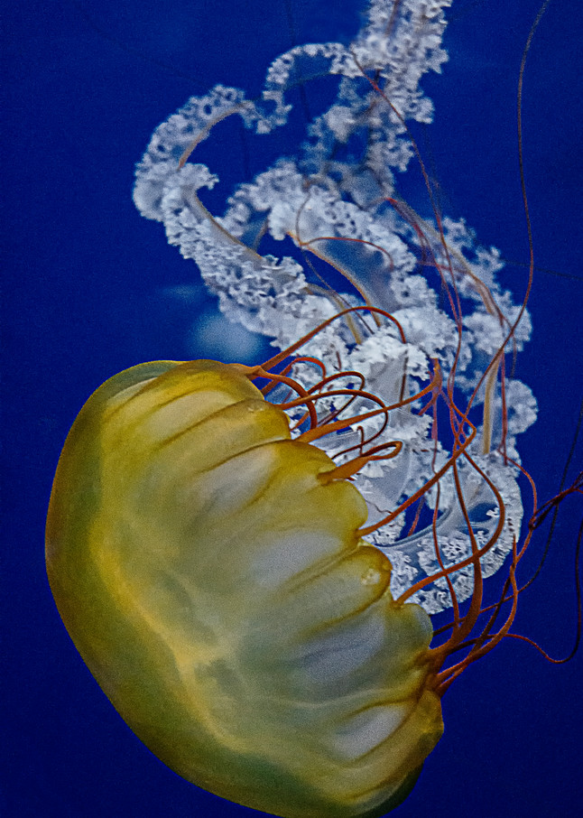 Yellow Jellyfish Art | karenihirsch