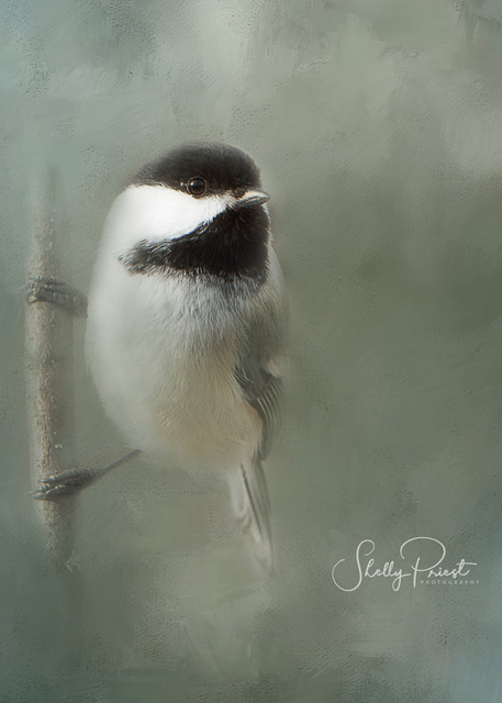 Black Capped Chickadee Photography Art | Shelly Priest Photography