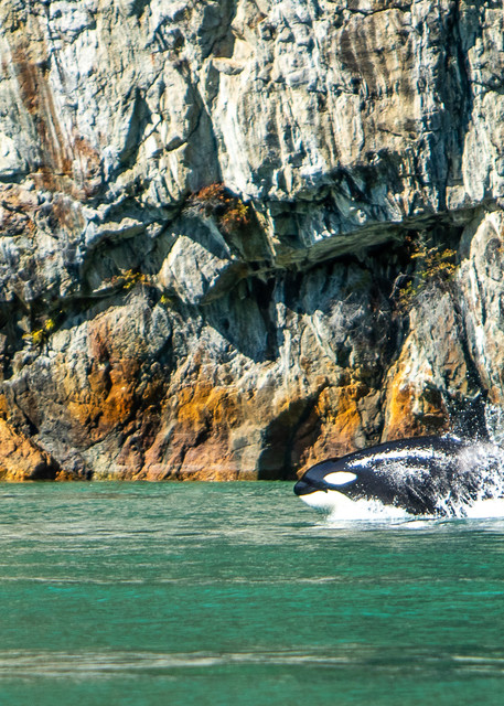 Transient Orca Photography Art | Shelly Priest Photography