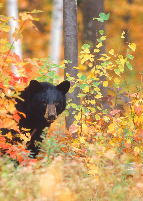 Black Bear in Autumn Color