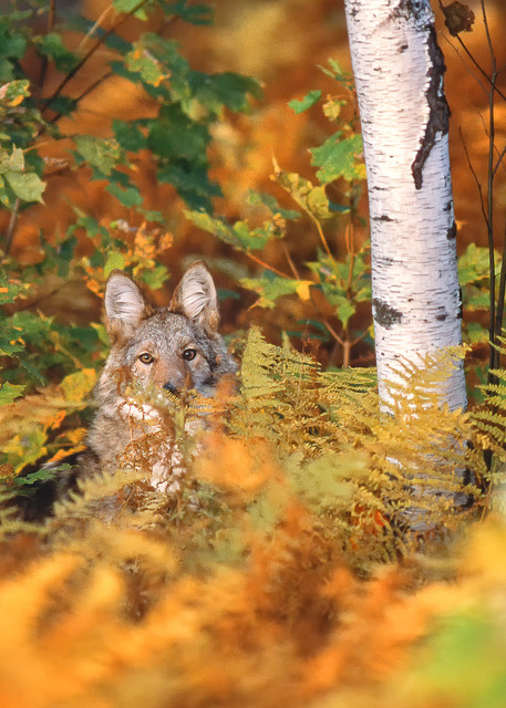 Coyote in Ferns