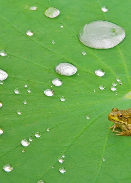 Green Frog on Lotus Pad
