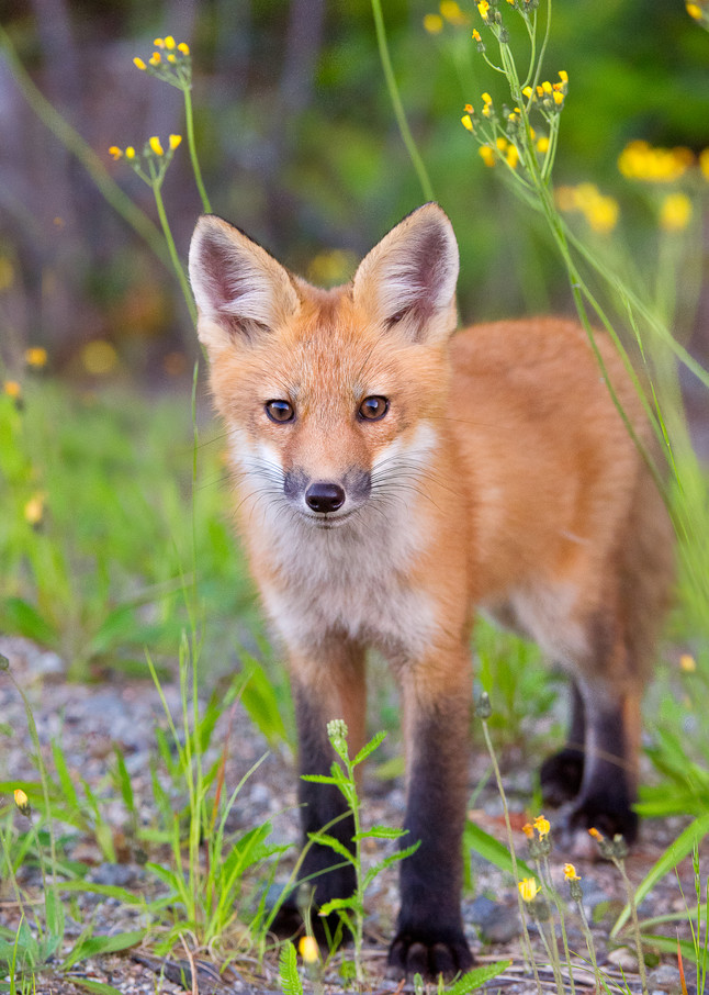 Red Fox Kit in Yellow Flowers