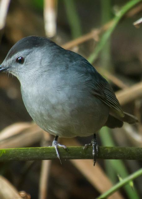 Grey Catbird Perched on Plant Stalk