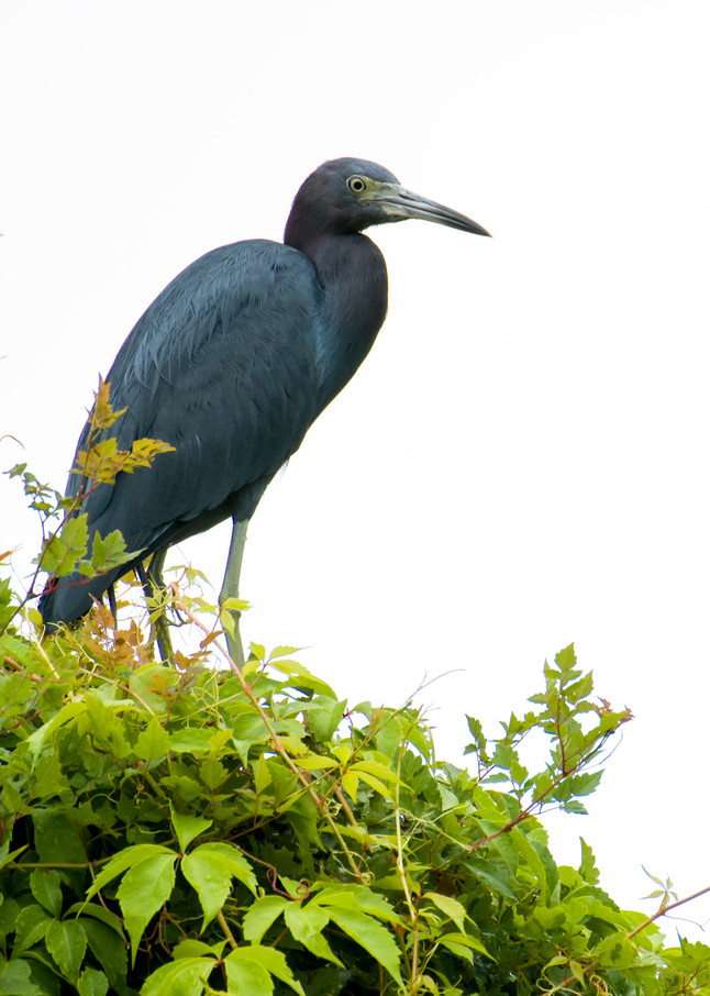 Little Blue Heron on Top of Bush in Forest