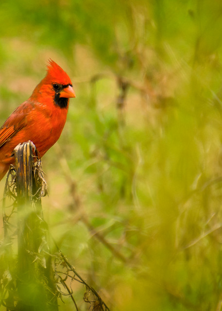Northern Red Cardinal in Forest Underbrush