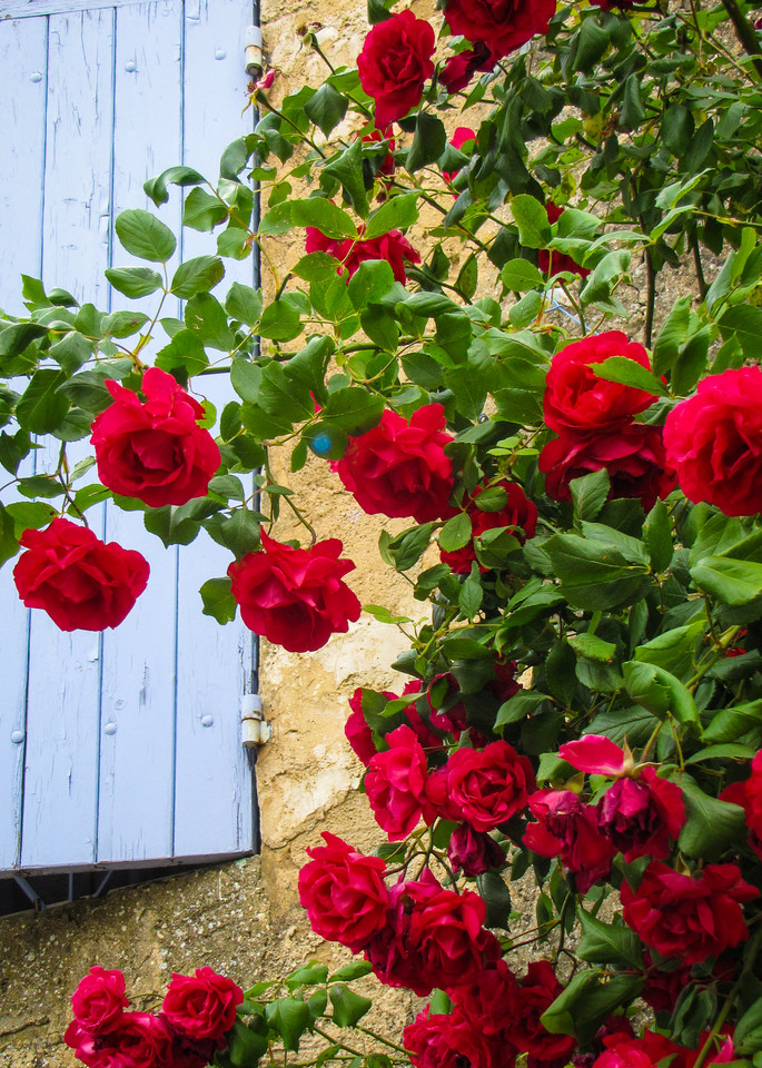 Wild Climbing Roses Photography Art | Julie Williams Fine Art Photography