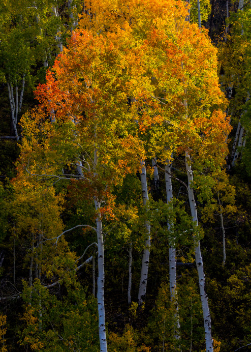 Aspen Trees Ridgway Colorado Landscape Art