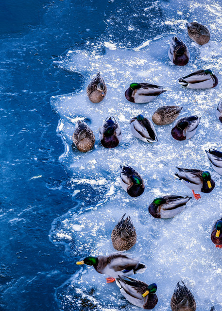 Ducks On Ice Photography Art | Grace Fine Art Photography by Beth Sheridan