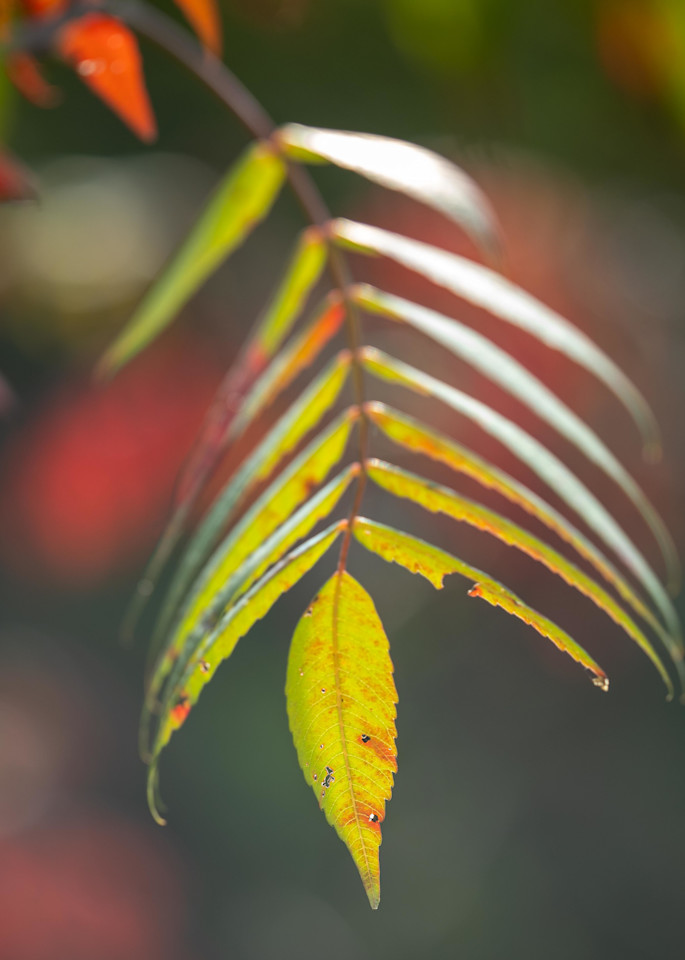 Autumn colored sumac leaves - Fine Art photograph for sale.