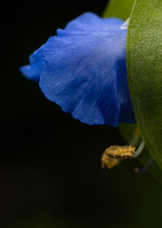 Asiatic Dayflower in soft light - Fine Art photograph for sale.