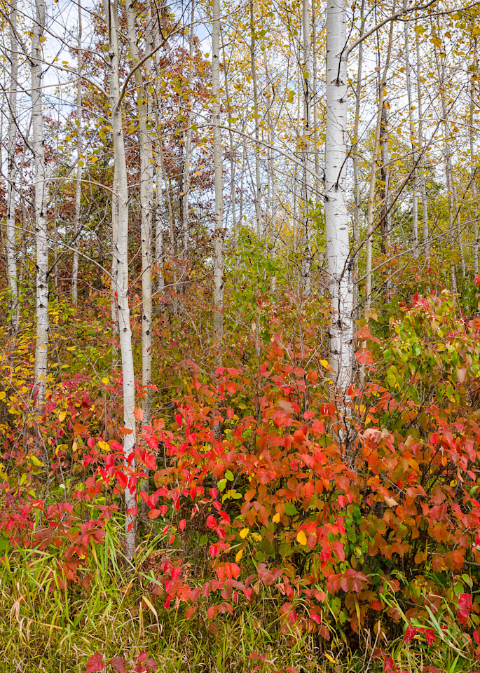 Fall Birch Forest III, photography by Jeremy Simonson.