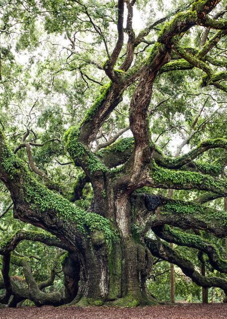 Oak Tree Art Prints