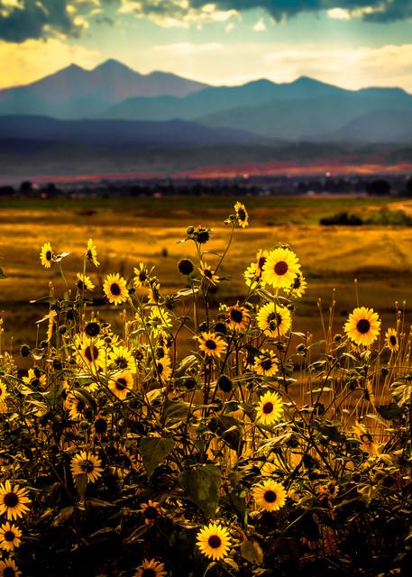 Photograph of Sunflowers and Longs Peak Colorado