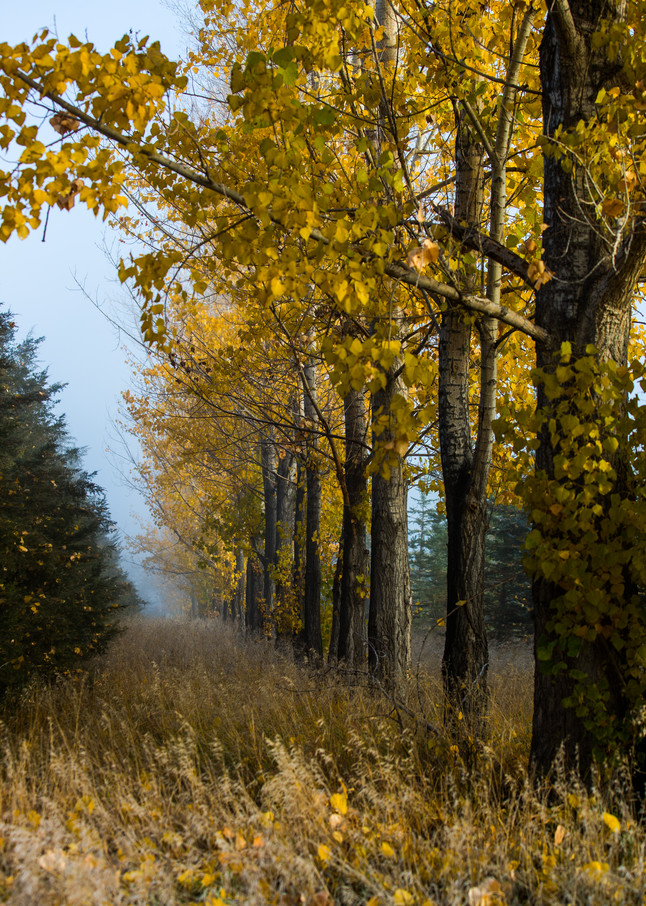 Cottonwood Trees In the Fog in Colorado