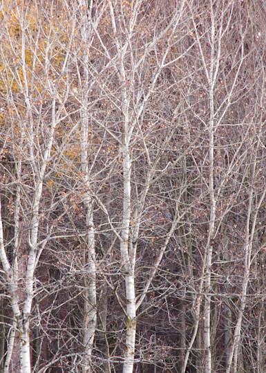 Birch Trees, November 2012, Proud Lake Recreation Area, Michigan