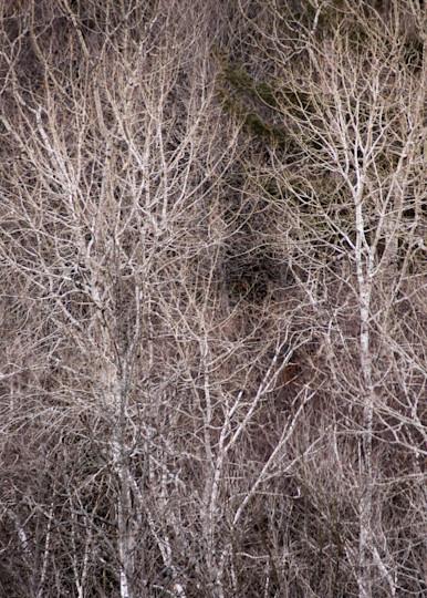 Spring Birches, Rifle River