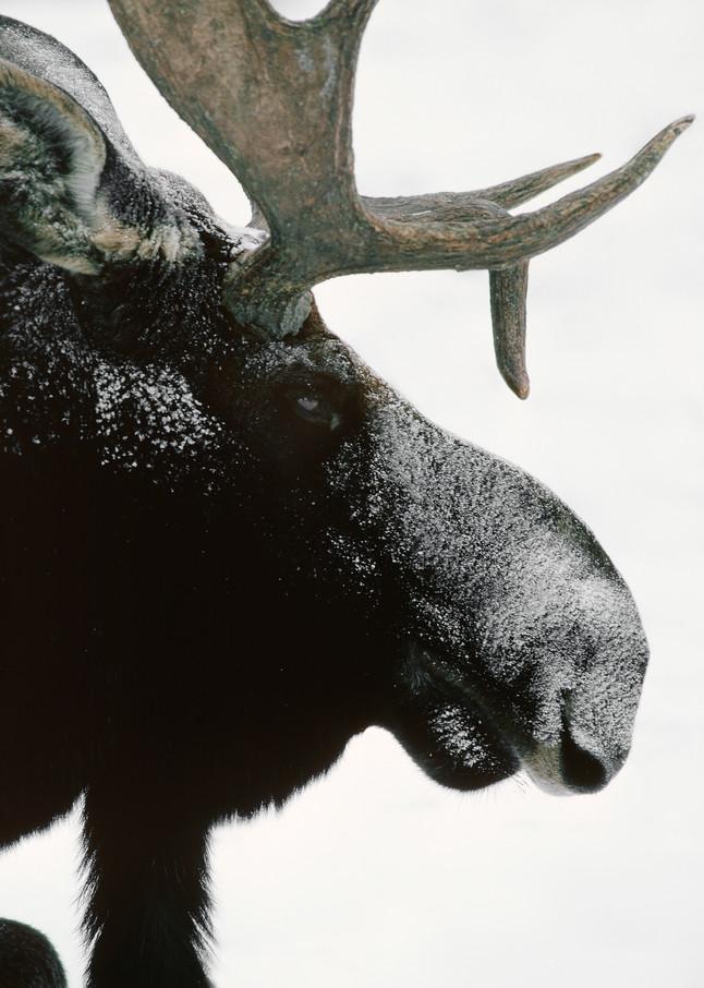 Artsy Fartsy Moose