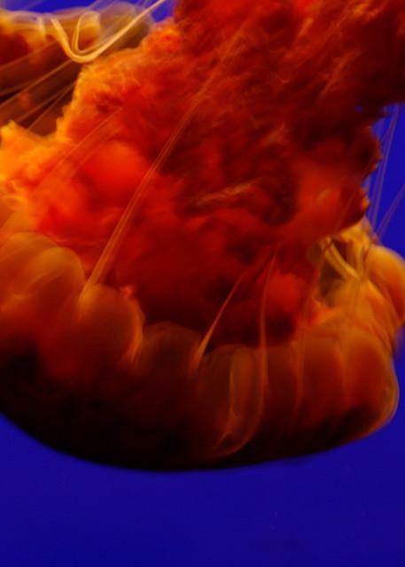 Jellies 14 Art | Susan Searway Art & Design